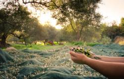 Ferienwohnungen am Gardasee: Es ist Zeit für die Olivenernte